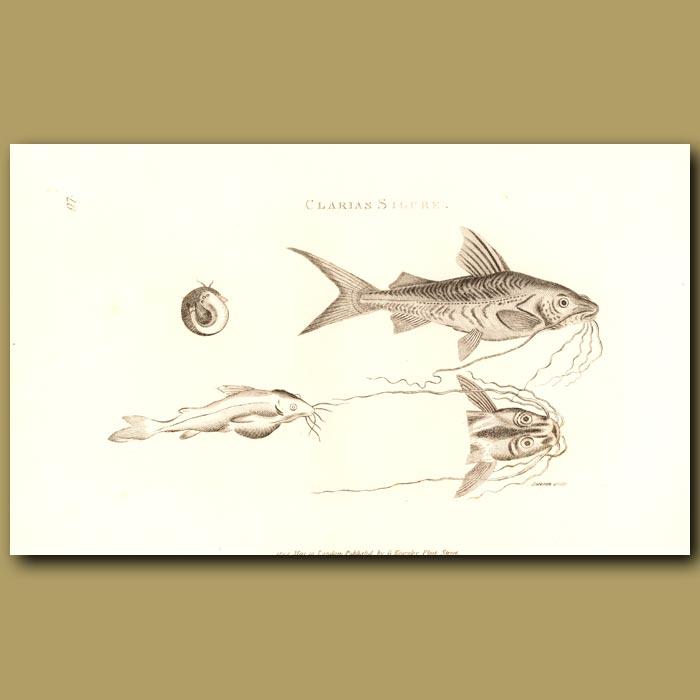 Antique print. Cat Fish (Clarias Silure)