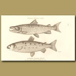 Common Salmon