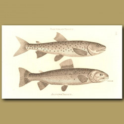 Salvelin Trout And Alpine Trout