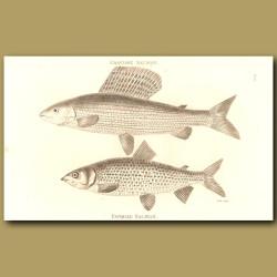 Grayling Salmon And Gwiniad Salmon