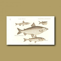Lake Smelt, Sharp-Bellied Salmon, Broad Gwiniad And Maraenula Salmon