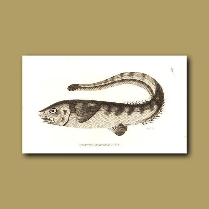 Antique print. Snouted Acanthonotus