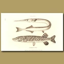 Gar Pike And Common Pike