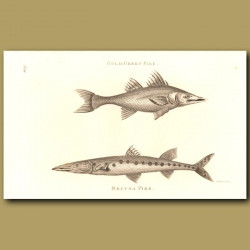 Gold-Green Pike And Becuna Pike