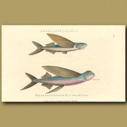 American And Mediterranean Flying Fish