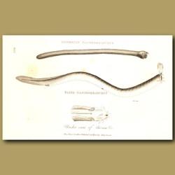 Dombeyan And Blind Gastrobranchus