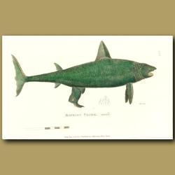Basking Shark (male)