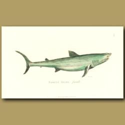 Basking Shark (female)