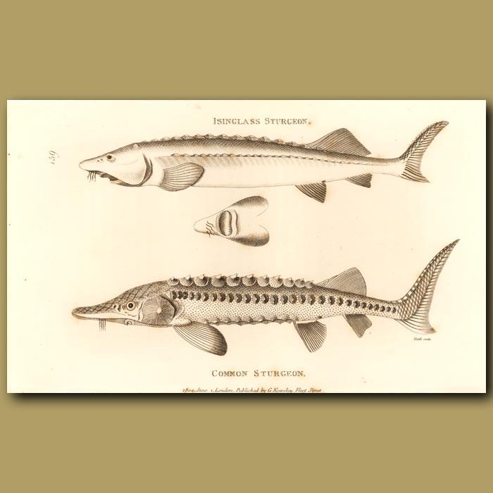 Antique print. Isinglass And Common Sturgeon