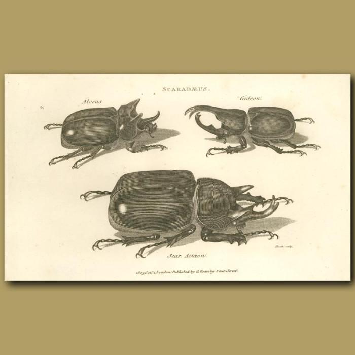 Antique print. Scarab Beetles