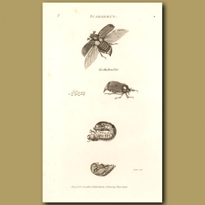Antique print. Cock Chafer Beetles