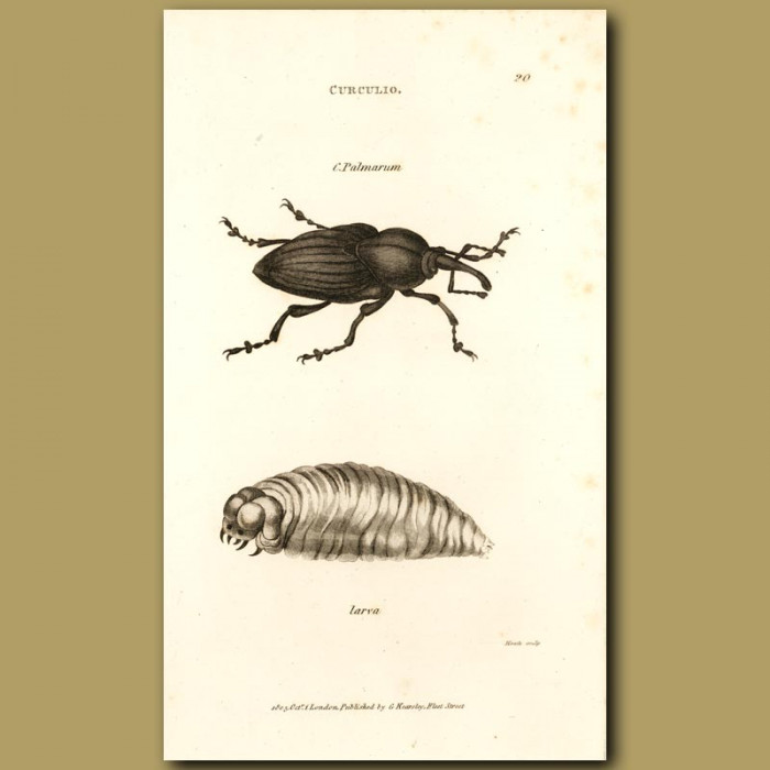 Antique print. Palm Weevil