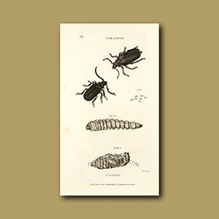 Antique print. Long Horn Beetle