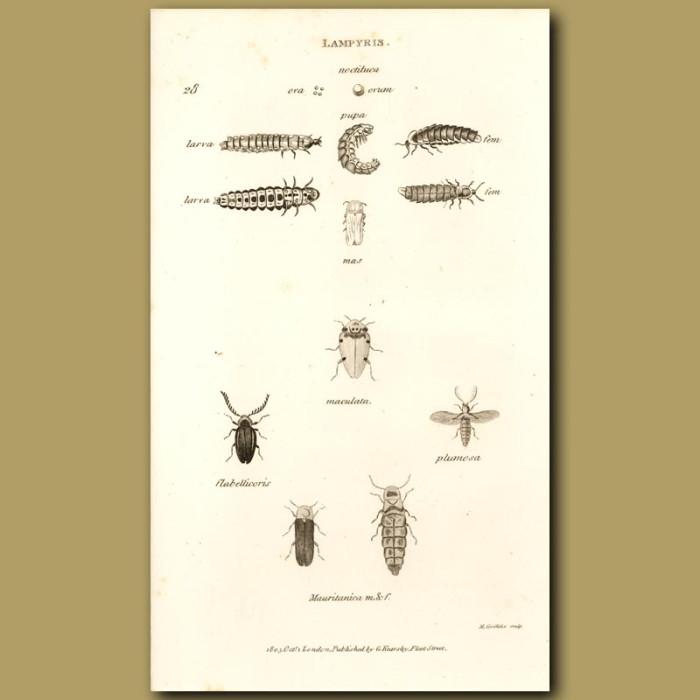 Antique print. Glow Worm