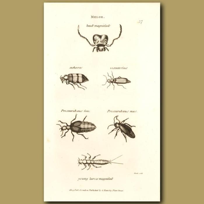 Antique print. Blister Beetles