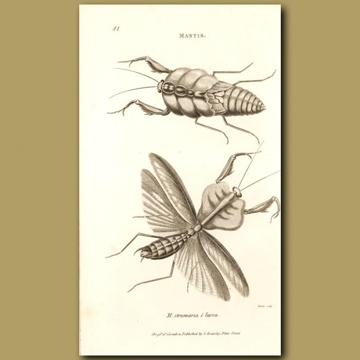 Antique print. Leaf Mantis