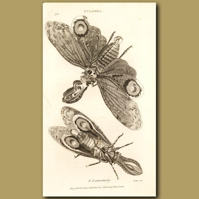 Antique print. Lantern-Fly (luminous)