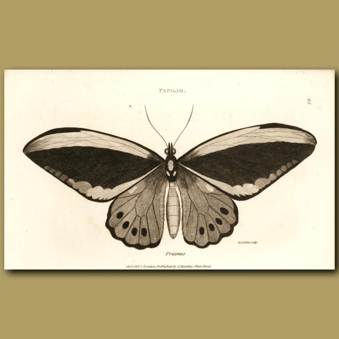 Antique print. Priam Butterfly