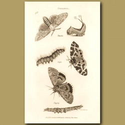 Puss Moth (Very Poisonous !) And Others