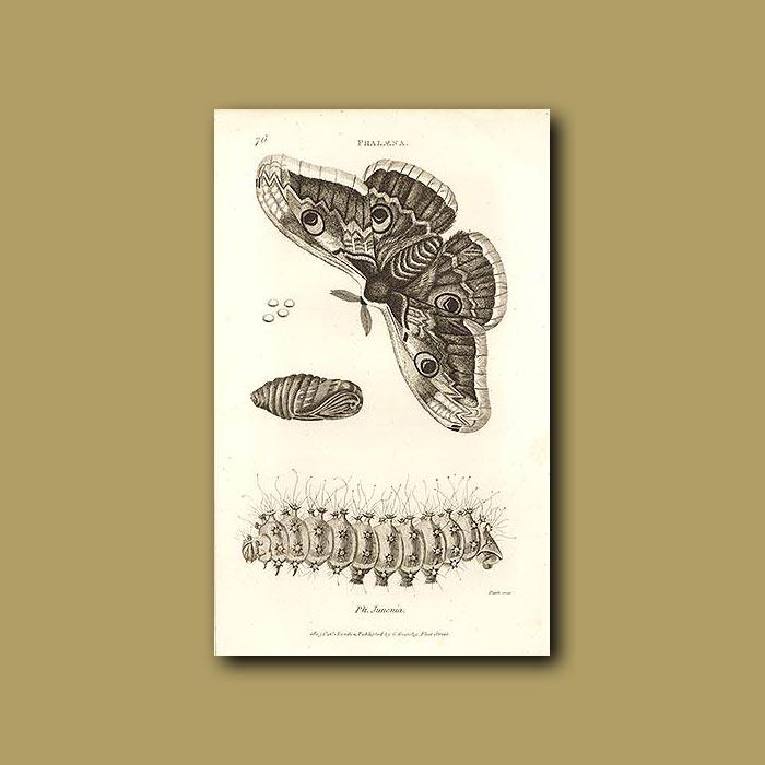 Antique print. Ornate Moth And Caterpillar