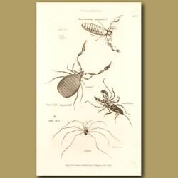Scorpions (American And European)