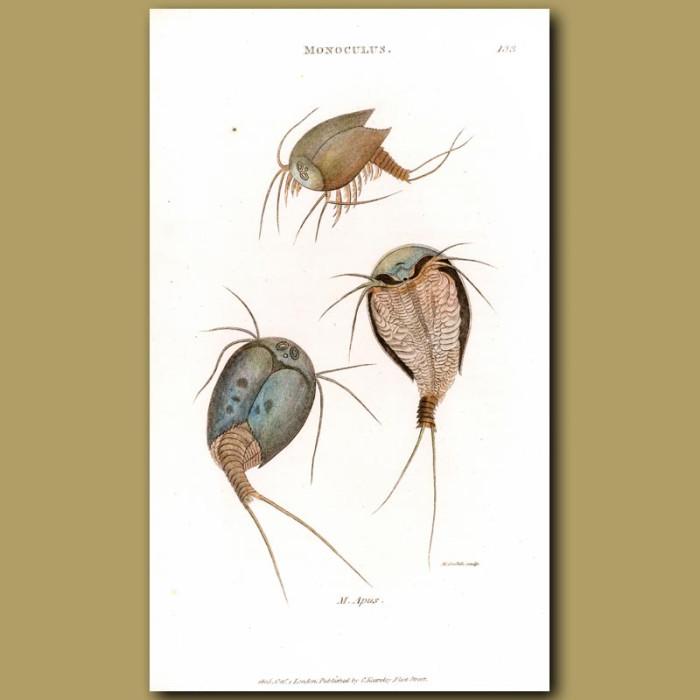 Antique print. Horseshoe Crabs