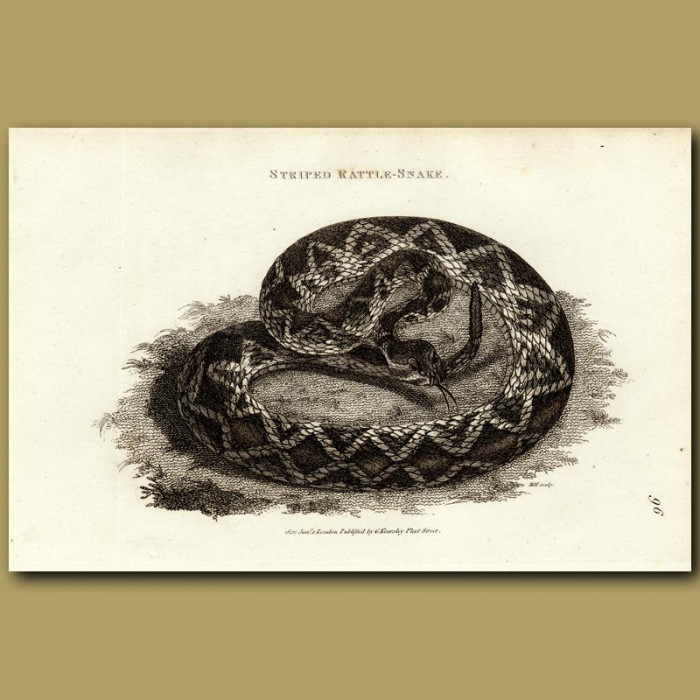 Antique print. Striped Rattlesnake