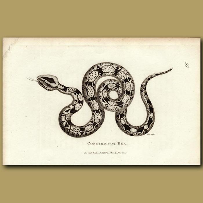 Antique print. Boa Constrictor