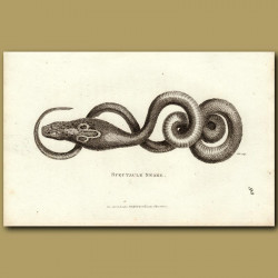 Spectacle Snake