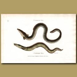 Conger Eel And Common Eel