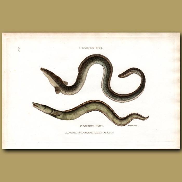 Antique print. Conger Eel And Common Eel