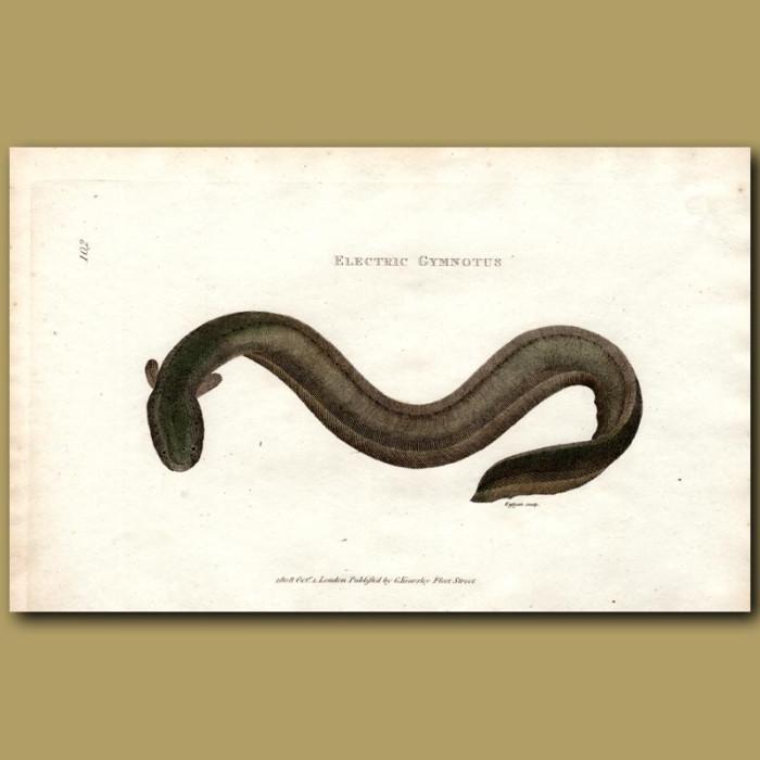 Antique print. Electric Eel