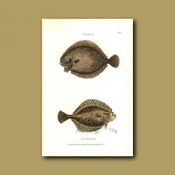 Turbot And Flounder