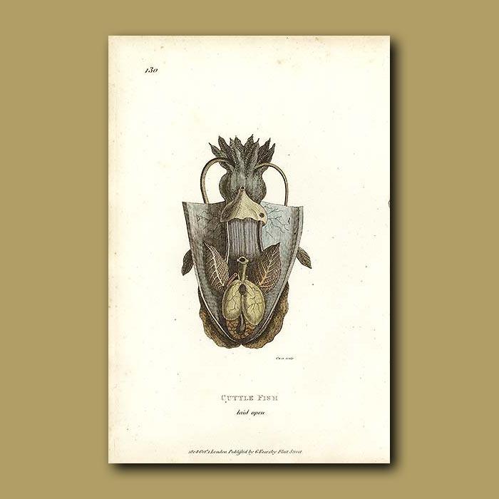 Antique print. Cuttle Fish