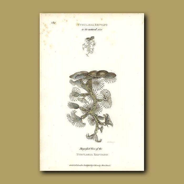 Antique print. Soft Coral