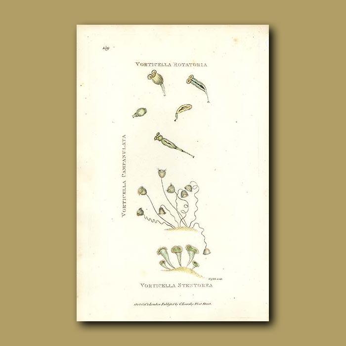 Antique print. Protozoa