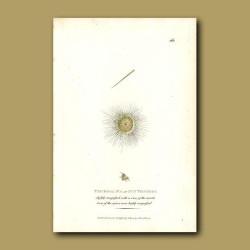 Plankton - Sun Trichoda