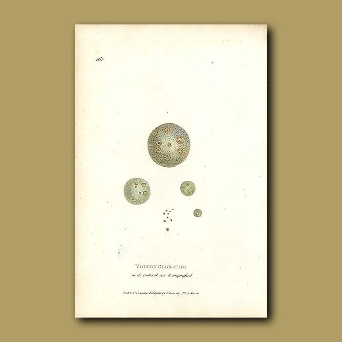 Antique print. Plankton