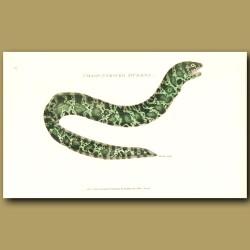 Chain-Striped Muraena Eel