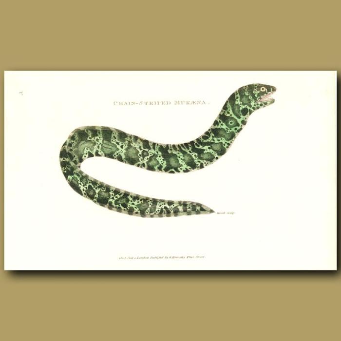 Antique print. Chain-Striped Muraena Eel