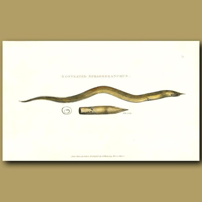 Antique print. Finny Snake Eel