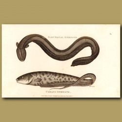 Electrical Eel (Gymnote) And Carapo Gymnote