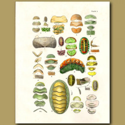 Chiton shells