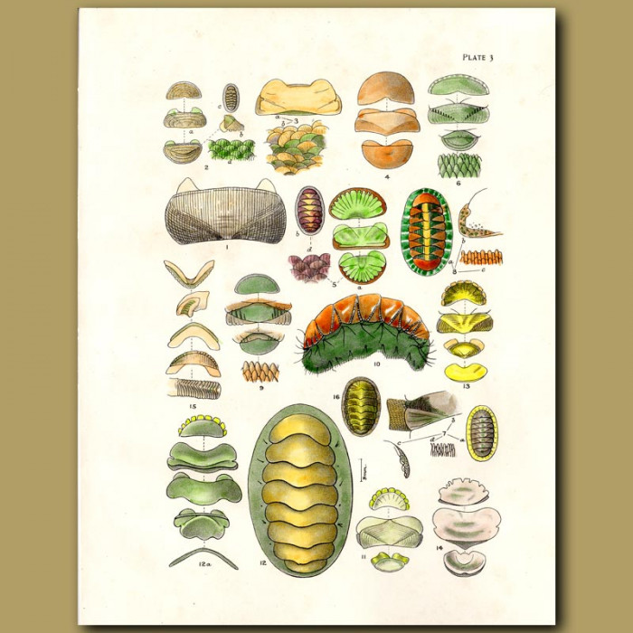 Antique print. Chiton shells