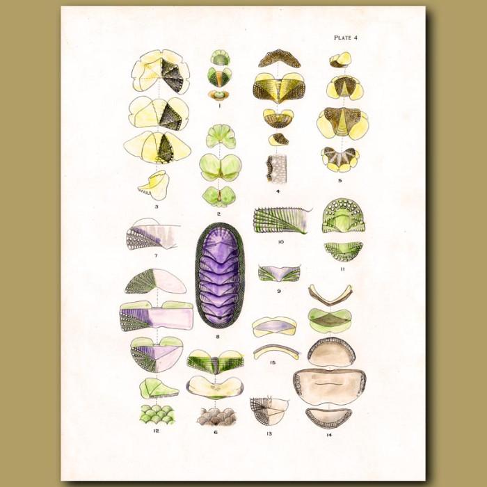 Antique print. Valves of shells