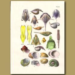 Sea Butterfly shells and Venus Slit Shells