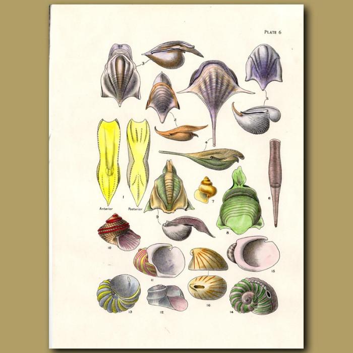 Antique print. Sea Butterfly shells and Venus Slit Shells