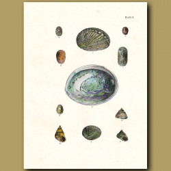 Paua or Abalone shells