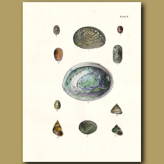 Antique print. Paua or Abalone shells