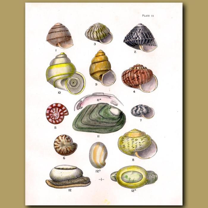 Antique print. New Zealand Fresh Water Mussel